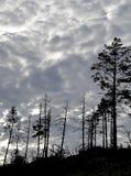 Silhuetas despidas das árvores coníferas Fotos de Stock