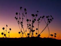 Silhuetas do girassol no por do sol do sudoeste imagens de stock royalty free