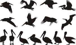 Silhuetas do pelicano Imagem de Stock