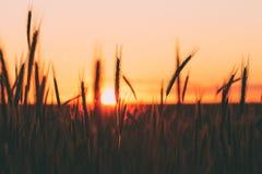 Silhuetas do trigo contra o fundo do por do sol cênico do verão do país, céu amarelo morno imagem de stock royalty free