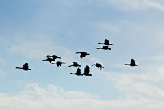Silhuetas dos gansos do vôo no céu azul Fotografia de Stock