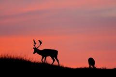 Silhuette de los ciervos en barbecho. Imagen de archivo libre de regalías