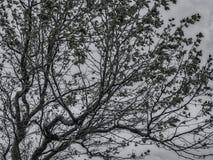 Silhuette del árbol blanco y negro Foto de archivo libre de regalías