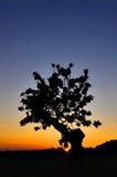 Silhuette dell'albero di tramonto Immagine Stock