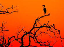 A silhuette of a heron. Sitting on the branch with the beautiful sunset background, South Afica Stock Images