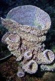 siliceous svampar Arkivbild