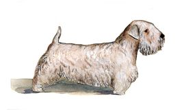 Silichem Terrier painted in watercolor in profile Stock Image