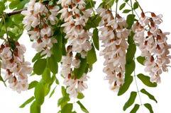 Siliqua ceratonia ακακιών άνθησης άσπρο που απομονώνεται στοκ εικόνες