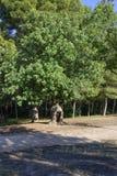 Siliqua Ceratonia в парке San Vicente de Liria, Валенсии Стоковые Изображения RF