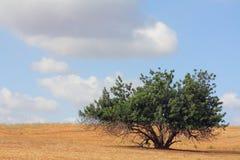 Siliqua de Ceratonia Photographie stock libre de droits
