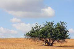 Siliqua van Ceratonia Royalty-vrije Stock Fotografie