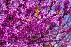 Siliquastrum fleurissant de Cercis au printemps Images libres de droits