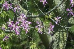 Silk дерево зубочистки от субтропических лесов Южной Америки Стоковые Изображения