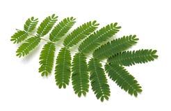 Silk Baum-Blätter stockfotos