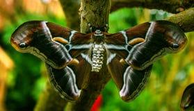 Silk butterfly Samia ricini. Big brown Silk butterfly Samia ricini Stock Image