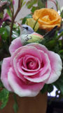 Silk cocoon bird on blooming  pink rose Royalty Free Stock Photography