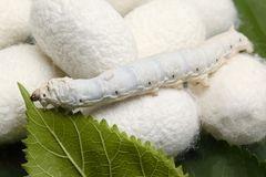 Silk Cocoons with Silk Worm Stock Photos
