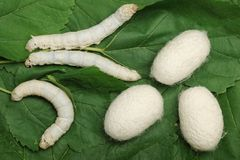 Silk Cocoons with Silkworm. On Green Mulberry Leaf Royalty Free Stock Photography