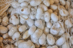 Silk cocoons Stock Image