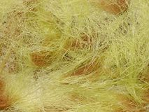 Silk of corn ears. Corn silk strands, elongated styles from female maize flowers that grow as part of ears of corn Royalty Free Stock Photography