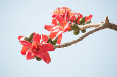 Silk Cotton Flower Royalty Free Stock Image