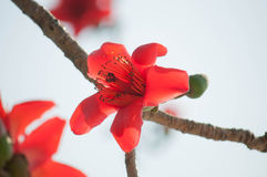 Silk Cotton Flower Royalty Free Stock Photography
