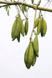 Silk cotton fruits Stock Image