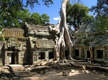 A silk-cotton tree consumes the ancient ruins of Ta Prohm, Angkor, Cambodia. A silk-cotton tree consumes the ancient ruins of Ta Prohm, in Angkor, Cambodia Royalty Free Stock Images