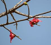 Silk Cotton Tree and Flowers India Royalty Free Stock Photo