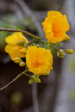 Silk cotton tree flowers Royalty Free Stock Photos