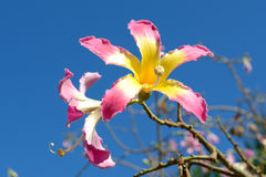 Silk Floss tree blooming flowers Royalty Free Stock Photography