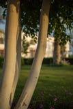 Silk floss tree Royalty Free Stock Photo