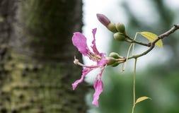 Silk Floss Tree ( Chorisia speciosa ) Royalty Free Stock Photo