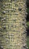 Silk Floss Tree ( Chorisia speciosa ) Stock Photos