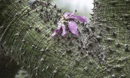 Silk Floss Tree ( Chorisia speciosa ) Stock Image