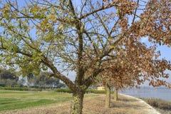 Silk floss tree in a garden Stock Photos