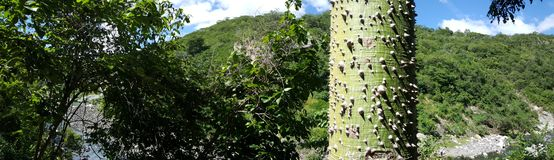 Silk floss tree. Panorama landscape with the Silk floss tree in the Cañón de Somoto in Nicaragua Stock Photography