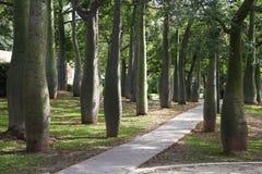 Silk floss trees in Valencia royalty free stock photo