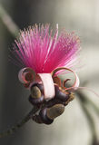 silk Glasschlackebaumblume (Ceiba speciosa, Formular Stockbild