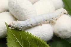 Silk Kokons mit Seidenraupe Stockfotos