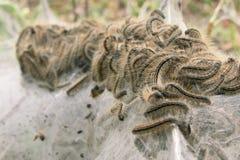 Silk larva. Close up stock photo