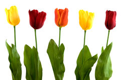Silk modern tulips Royalty Free Stock Photo