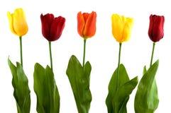 Silk modern tulips. Modern pattern of silk tulips in spring royalty free stock photo