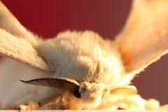 Silk moth Royalty Free Stock Photos