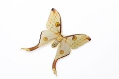 Silk Moth (Argema mittrei). Closeup of a Silk Moth (Argema mittrei) known as the Comet Moth from Madagascar photographed on a white foamboard royalty free stock photo