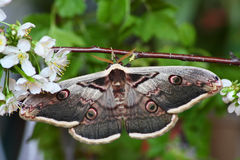 Silk moth (saturnia pyri) Royalty Free Stock Image