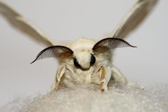 Silk moth with silk Royalty Free Stock Photo