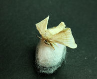 Silk Moth on Silk Cocoon Stock Photos