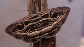 Silk moth Stock Photography