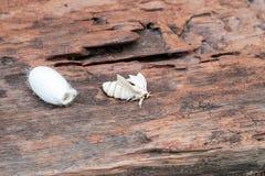 Silk Motte auf Silk Kokon stockfotos